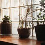 Plants and windows